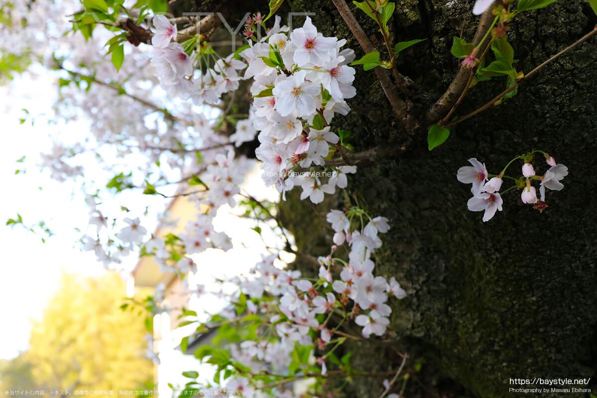荏柄天神社の桜並木
