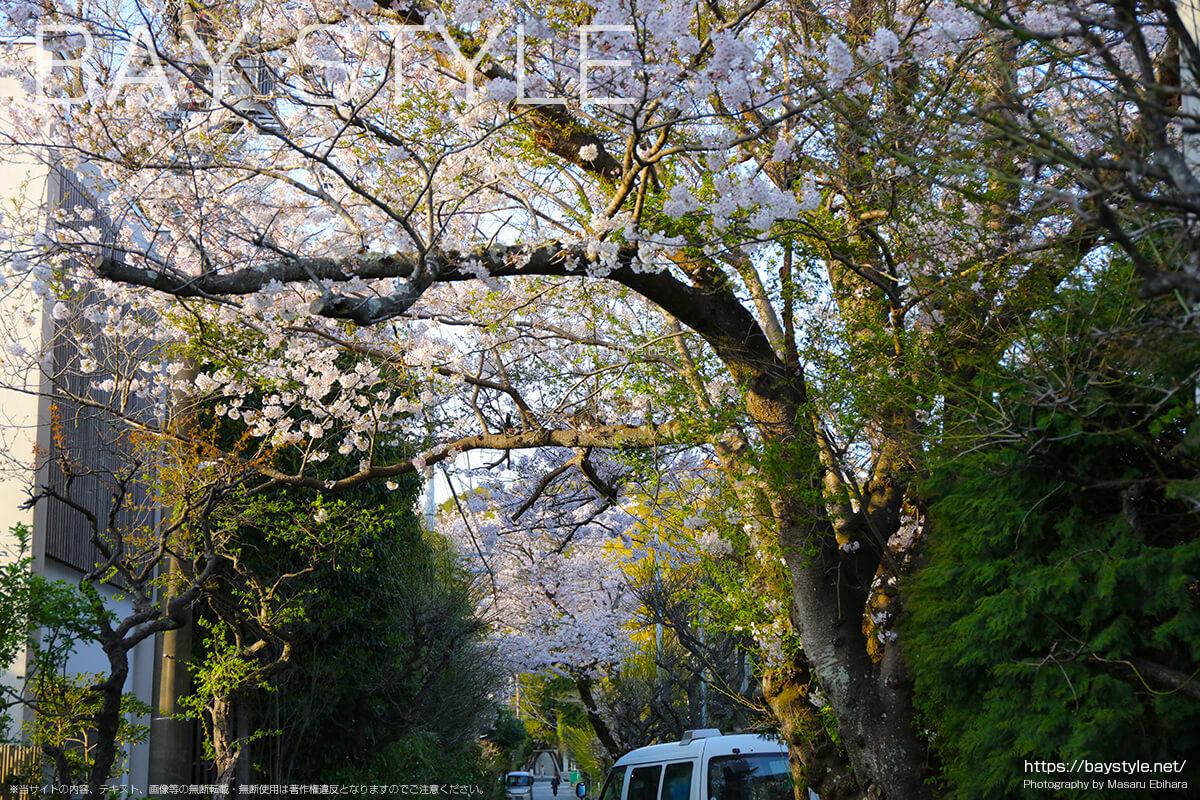 荏柄天神社の桜