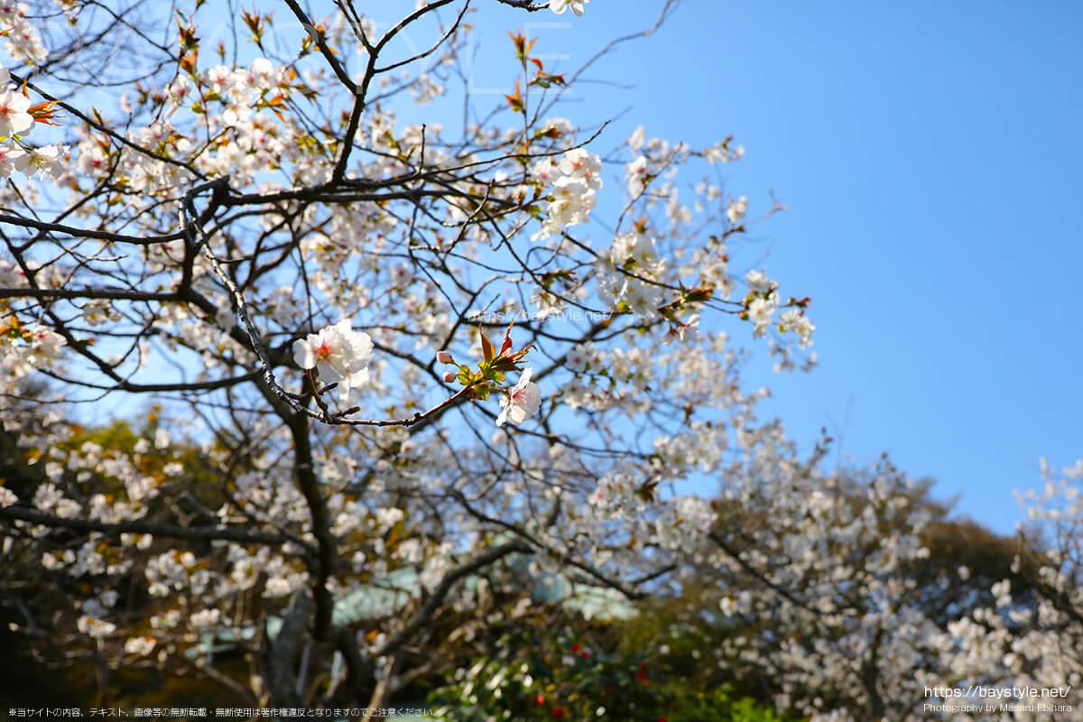 仏殿前の散策路にある桜