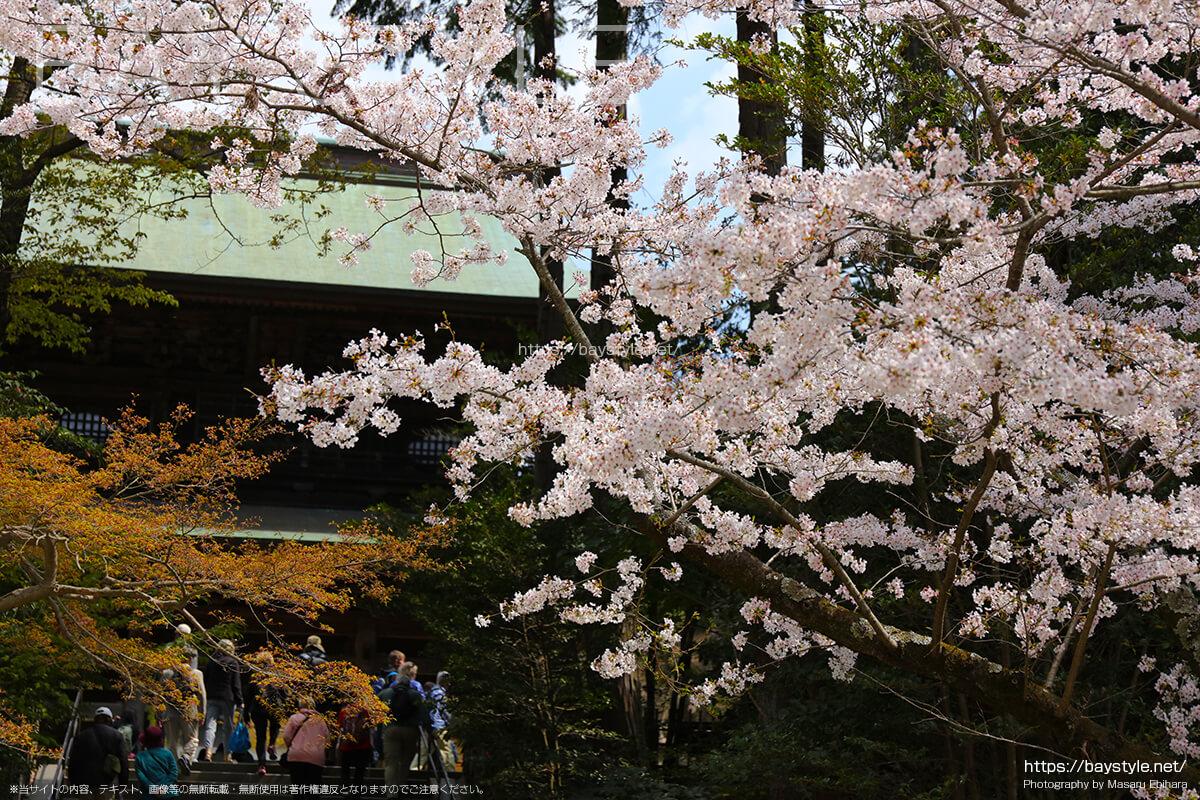 円覚寺入口付近の桜