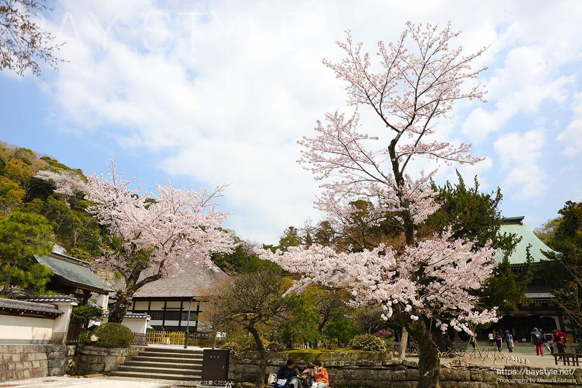 山門前付近の桜