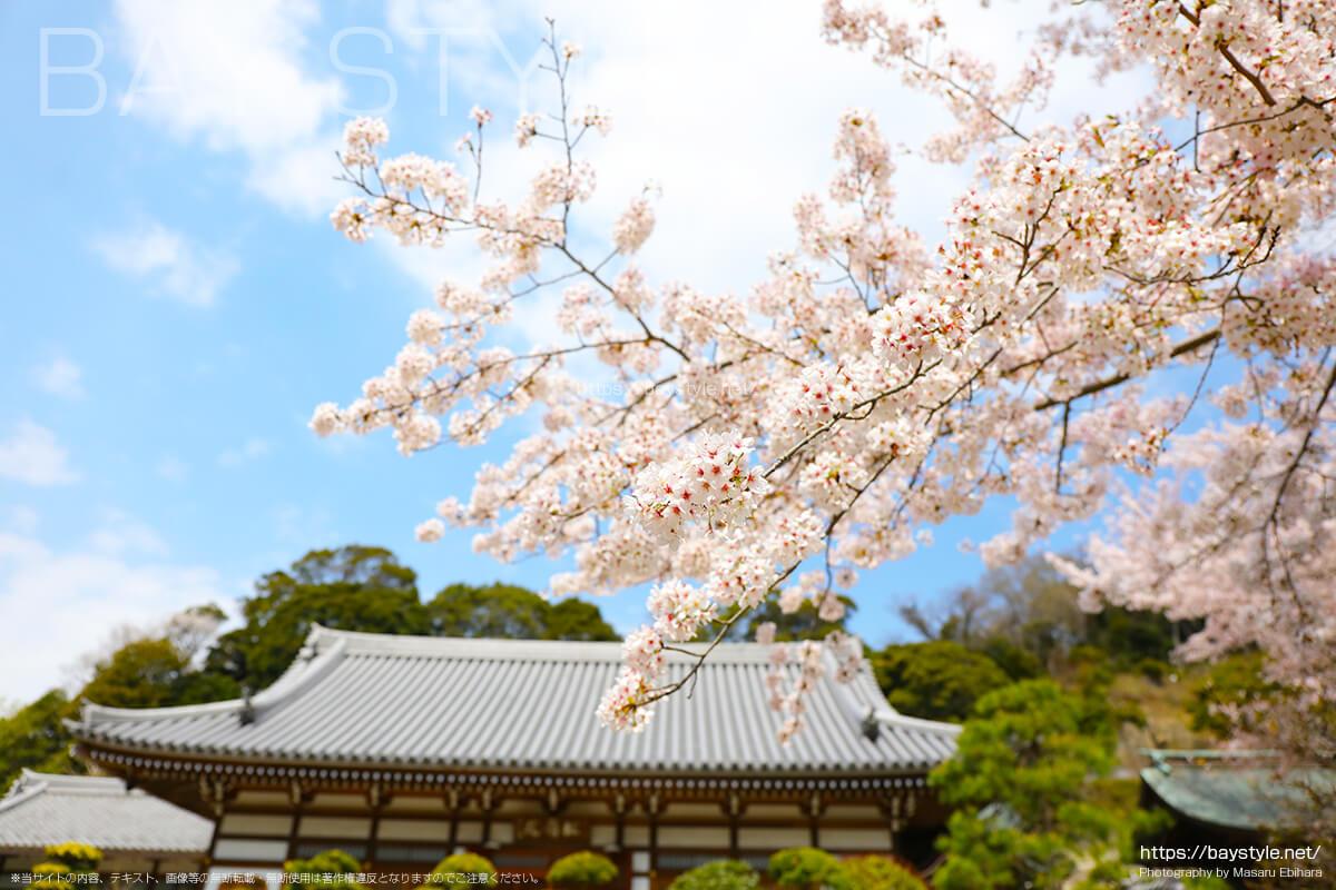 仏殿付近の桜