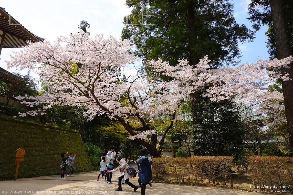 唐門から見える桜