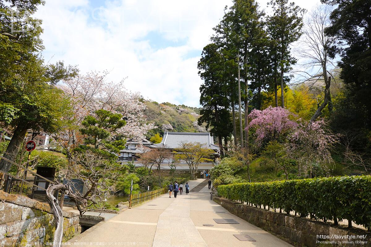 選仏場から佛日庵方面へと向う通路沿いの桜