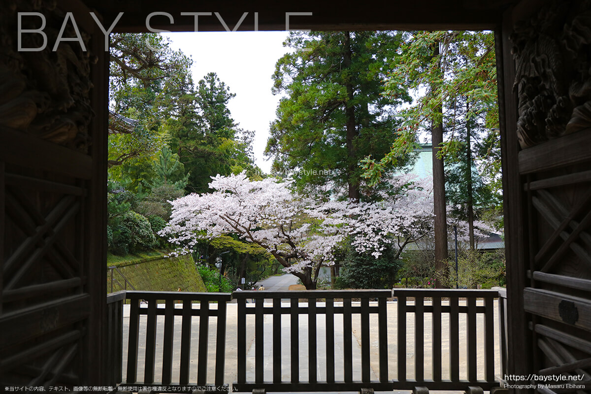 唐門前から見た桜