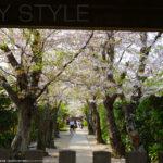 極楽寺の桜並木