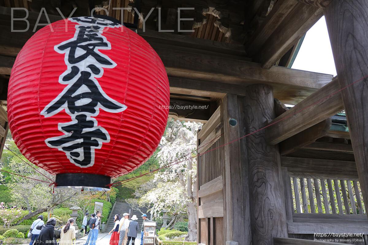 長谷寺の桜について