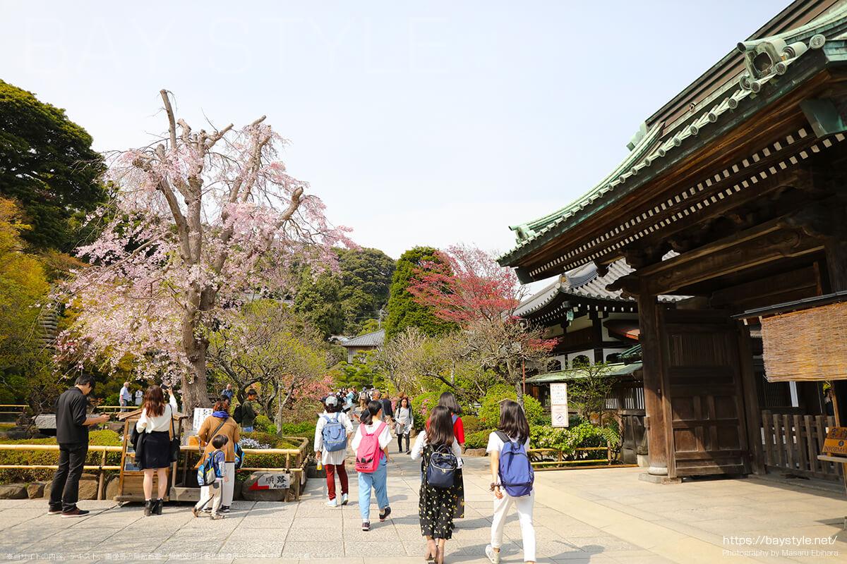 境内入口付近の桜