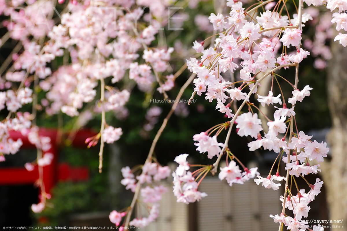 弁天窟入口付近の桜