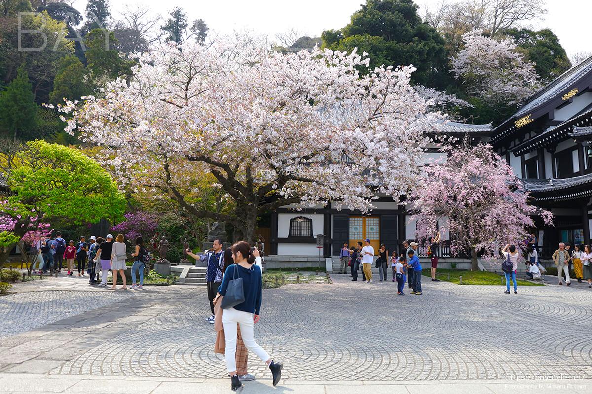 観音堂周辺の桜
