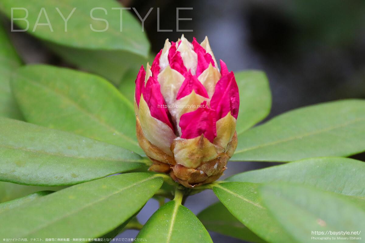 石楠花のつぼみ