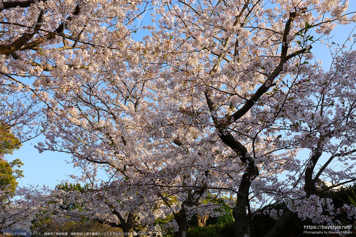 宝戒寺の入口付近の桜