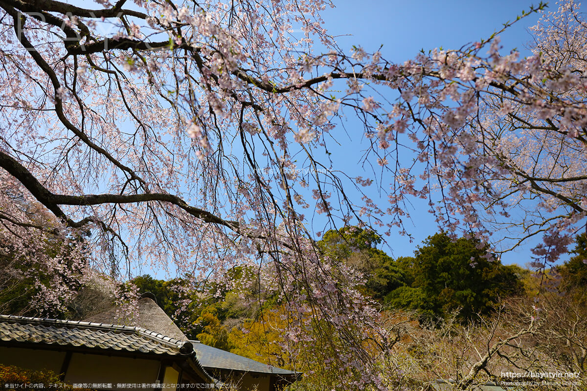 山門の隣にある桜