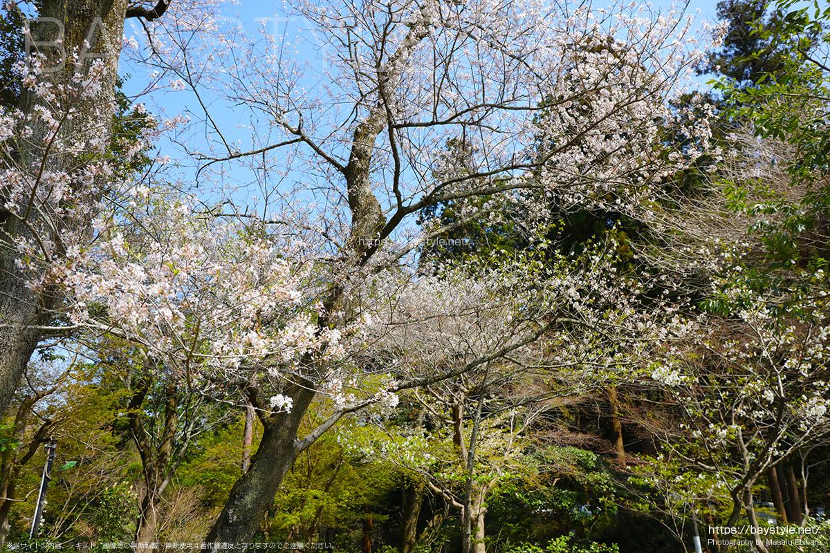 受付の裏にある桜