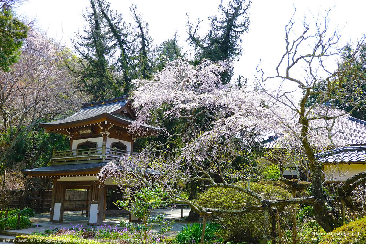 浄智寺の桜