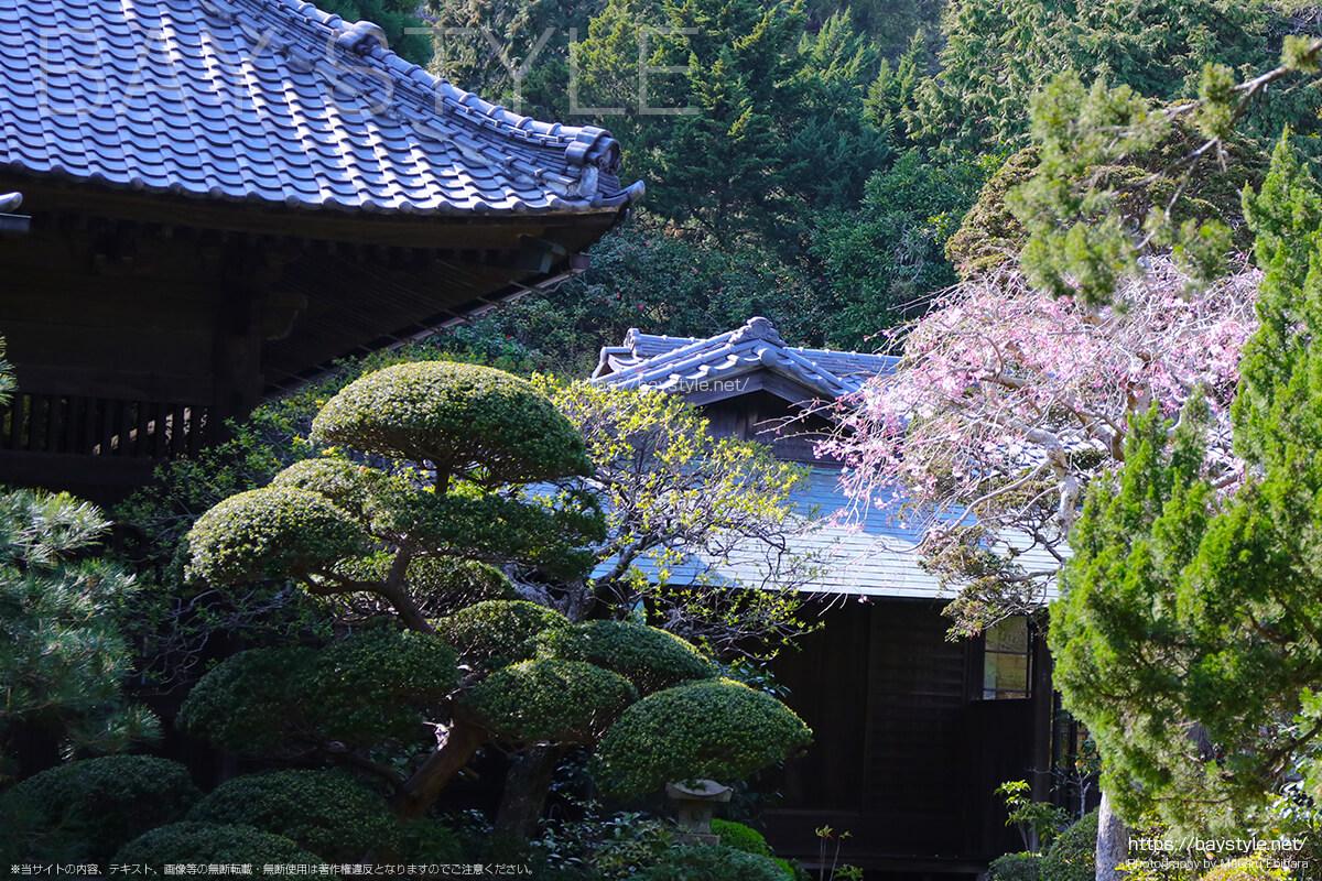 山門から見た桜