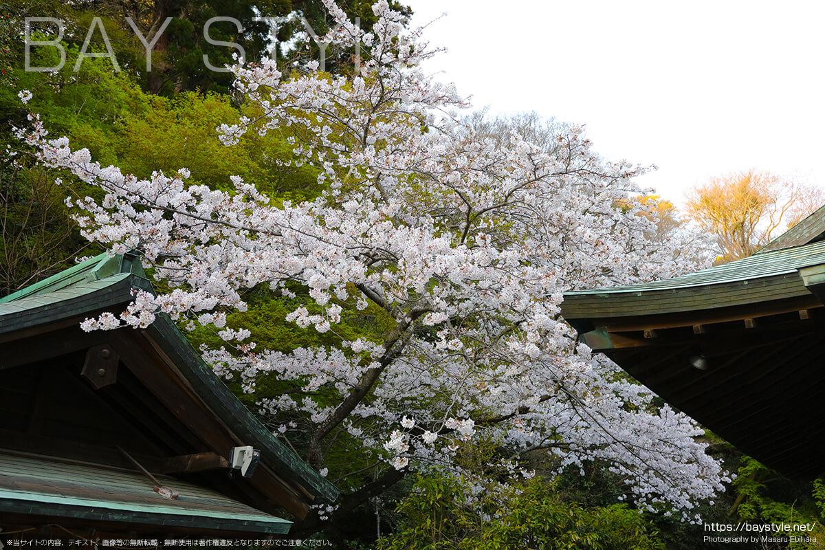 拝殿向って左側の桜