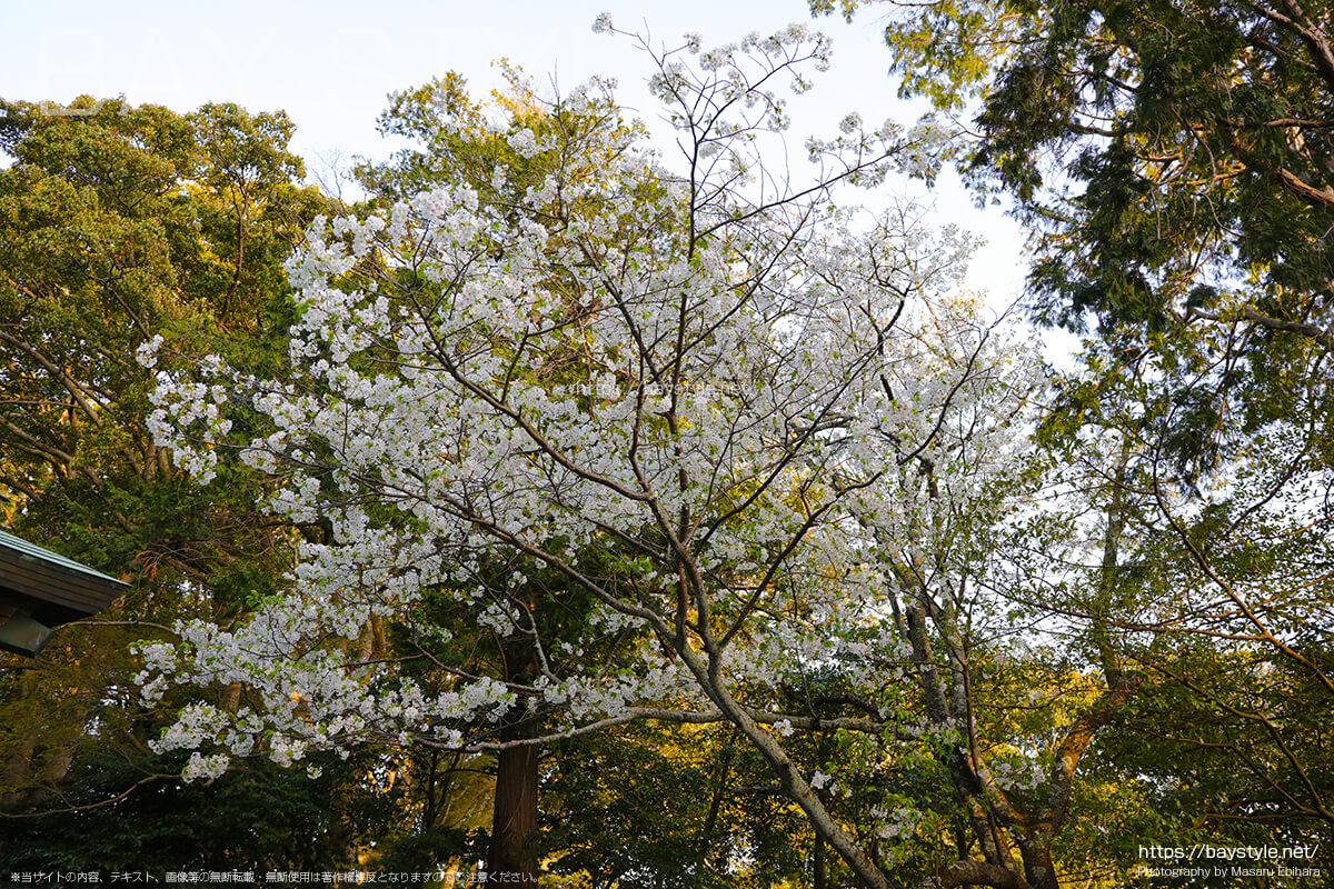 拝殿向って右側の桜