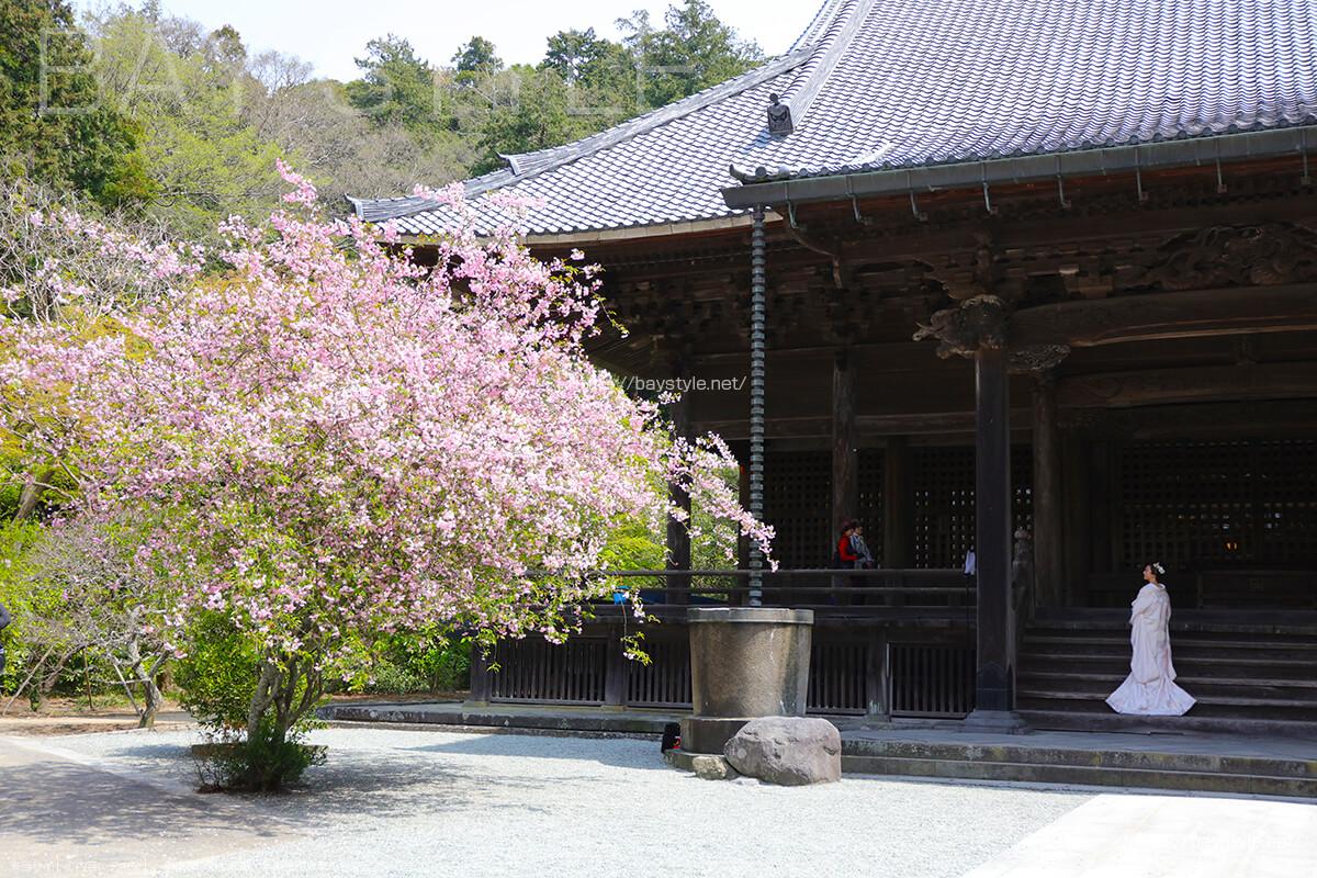 妙本寺の桜