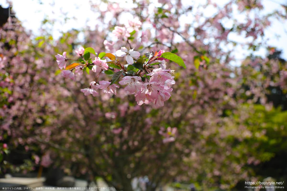 祖師堂前の桜