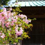 総門前の桜