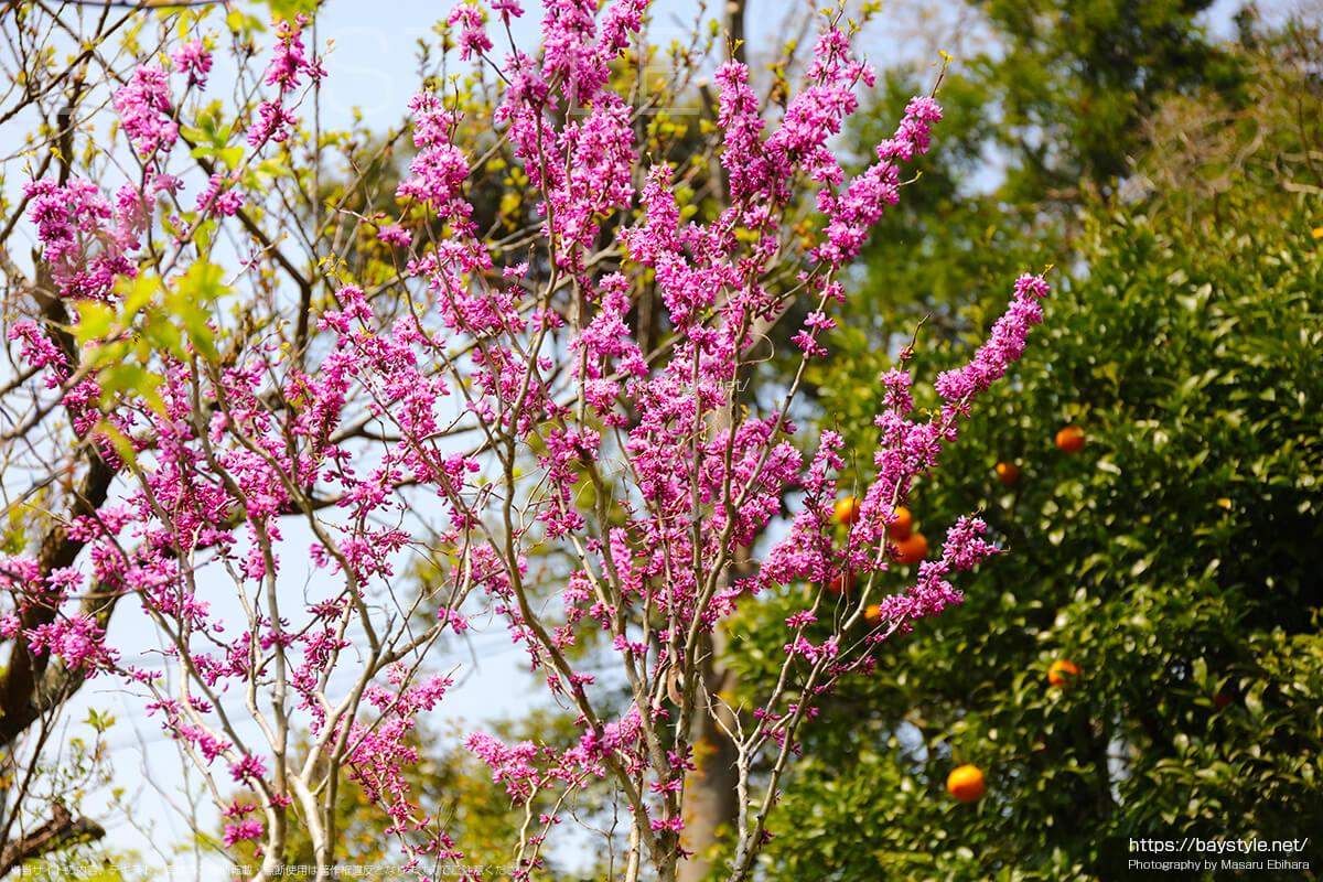 桜の季節に見れる妙法寺の花