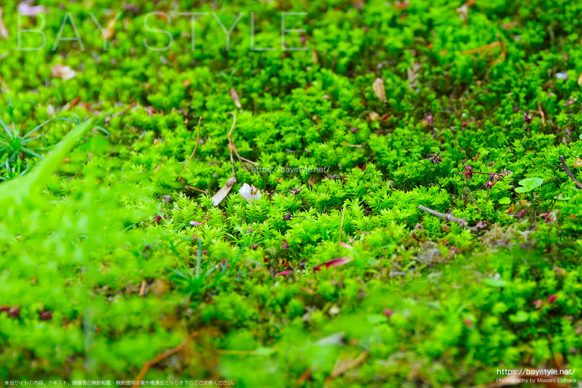 妙法寺の苔階段の苔