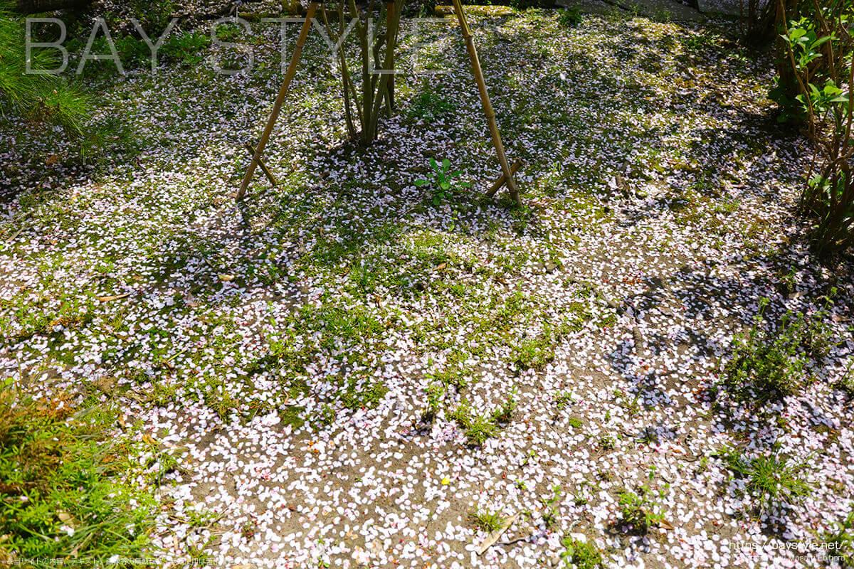 散ってしまった妙法寺の桜