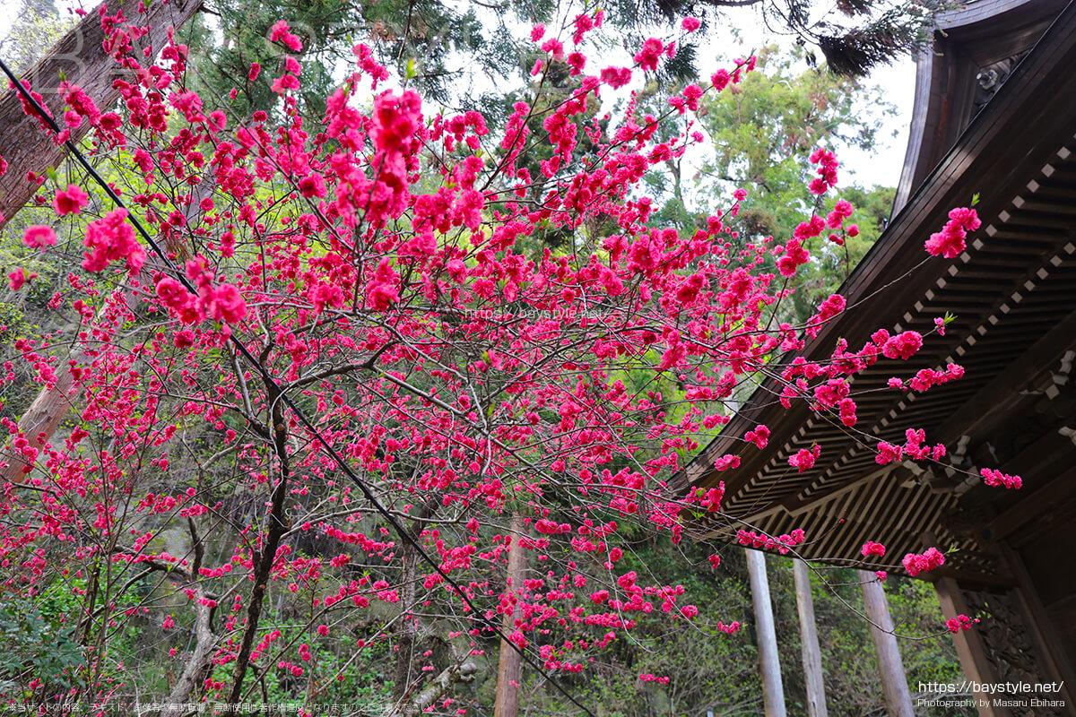 御霊神社の桃の花