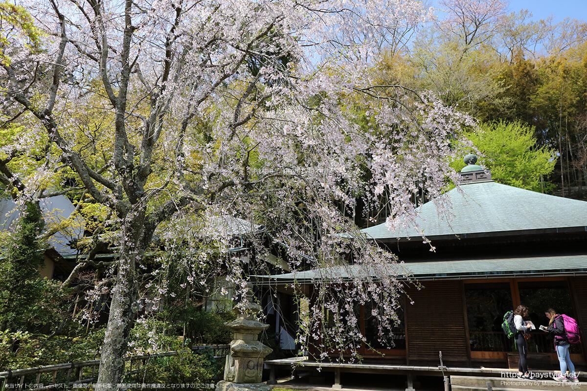 本堂前の桜