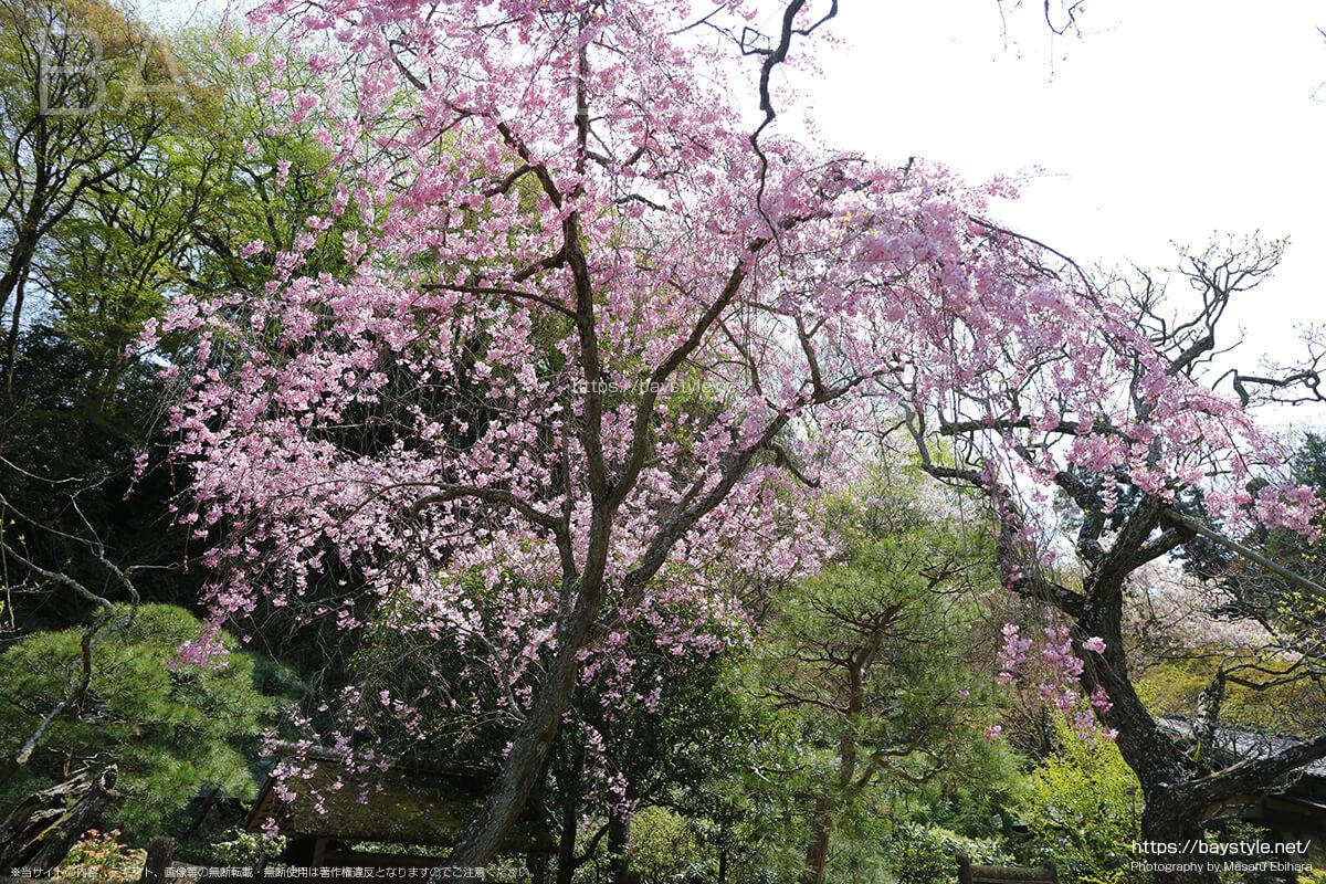 茶室「寒雲亭」前の桜