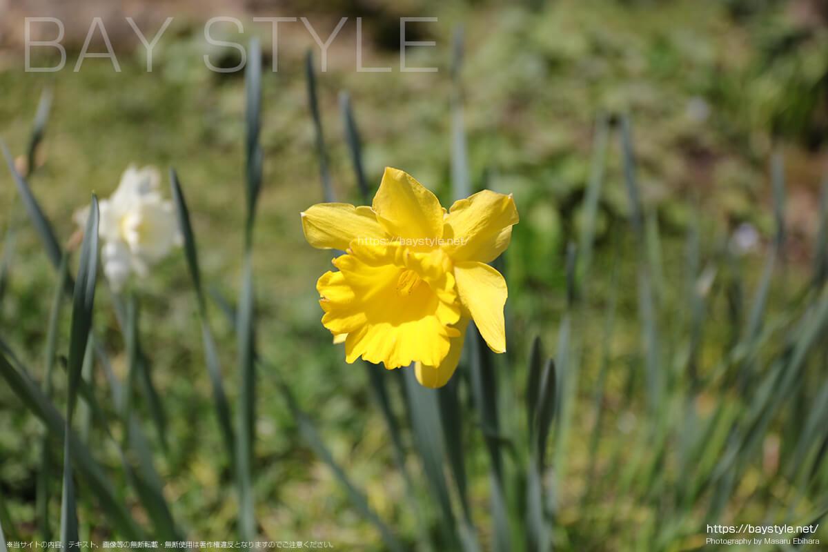 東慶寺の春の草花