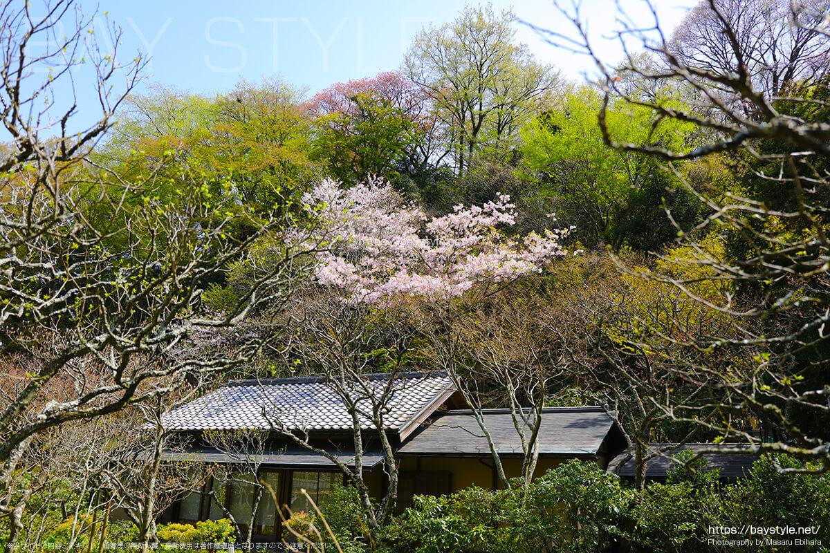 立礼茶室「白蓮舎」の桜