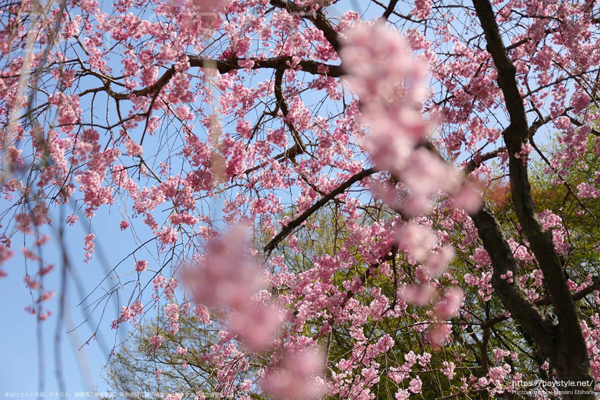 東慶寺の桜について