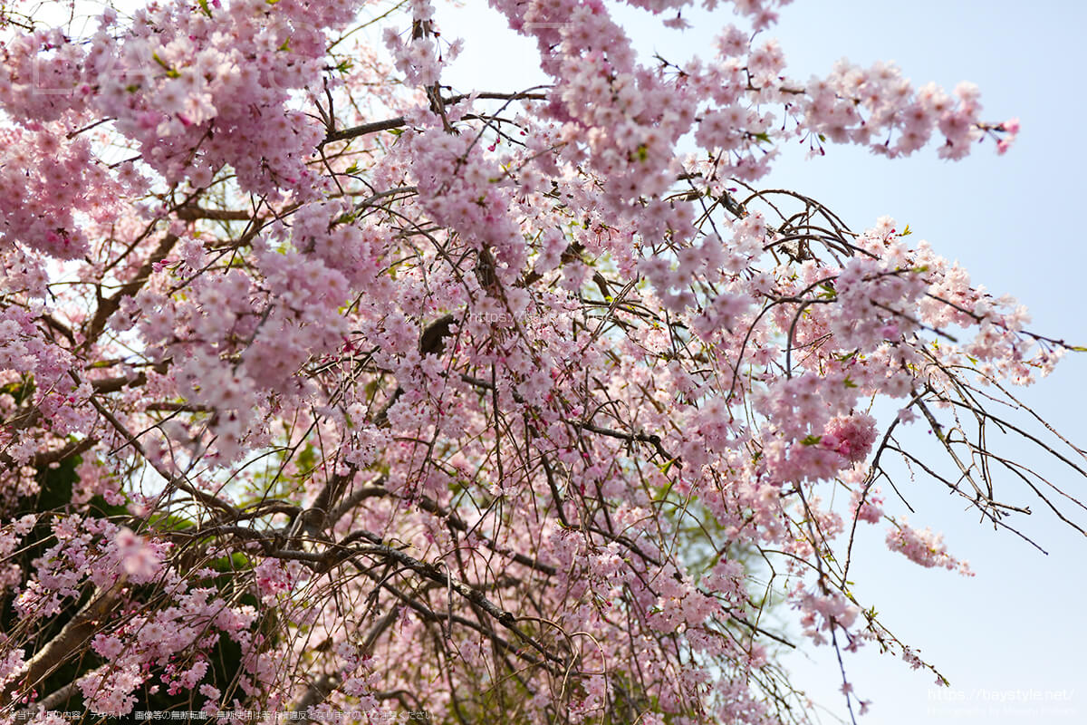 長勝寺の駐車場にあるしだれ桜