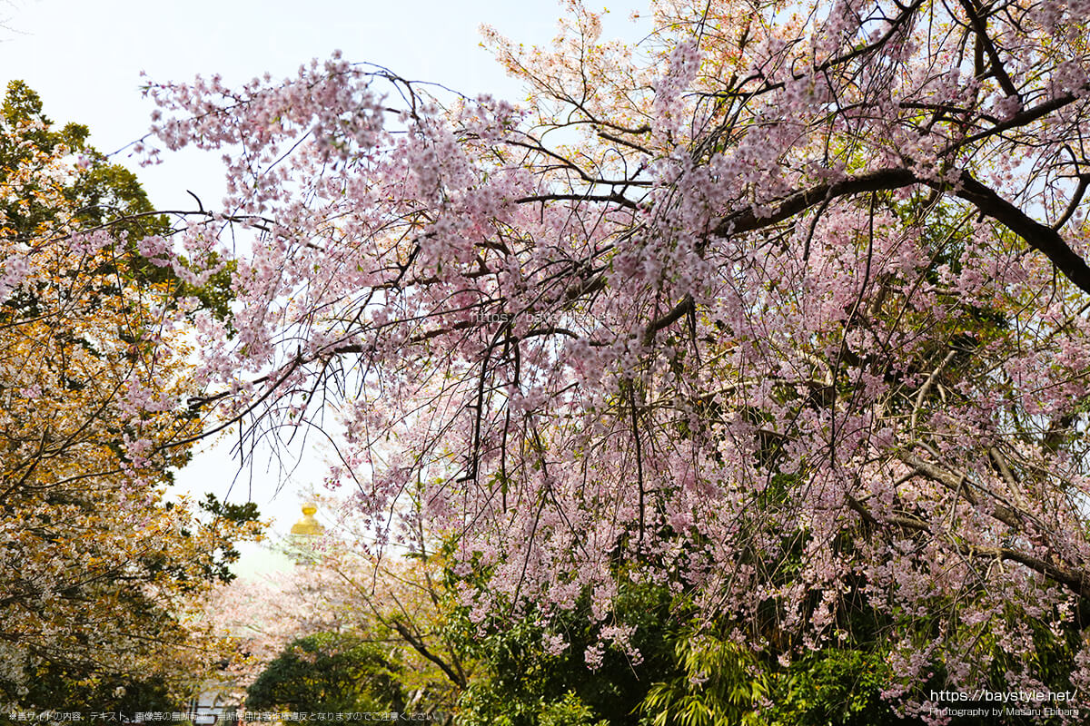 長勝寺の山門にあるしだれ桜