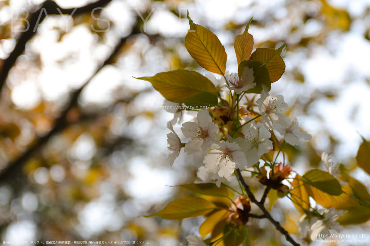 長勝寺の六地蔵付近の桜