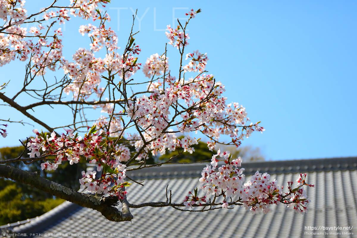 浄光明寺の桜