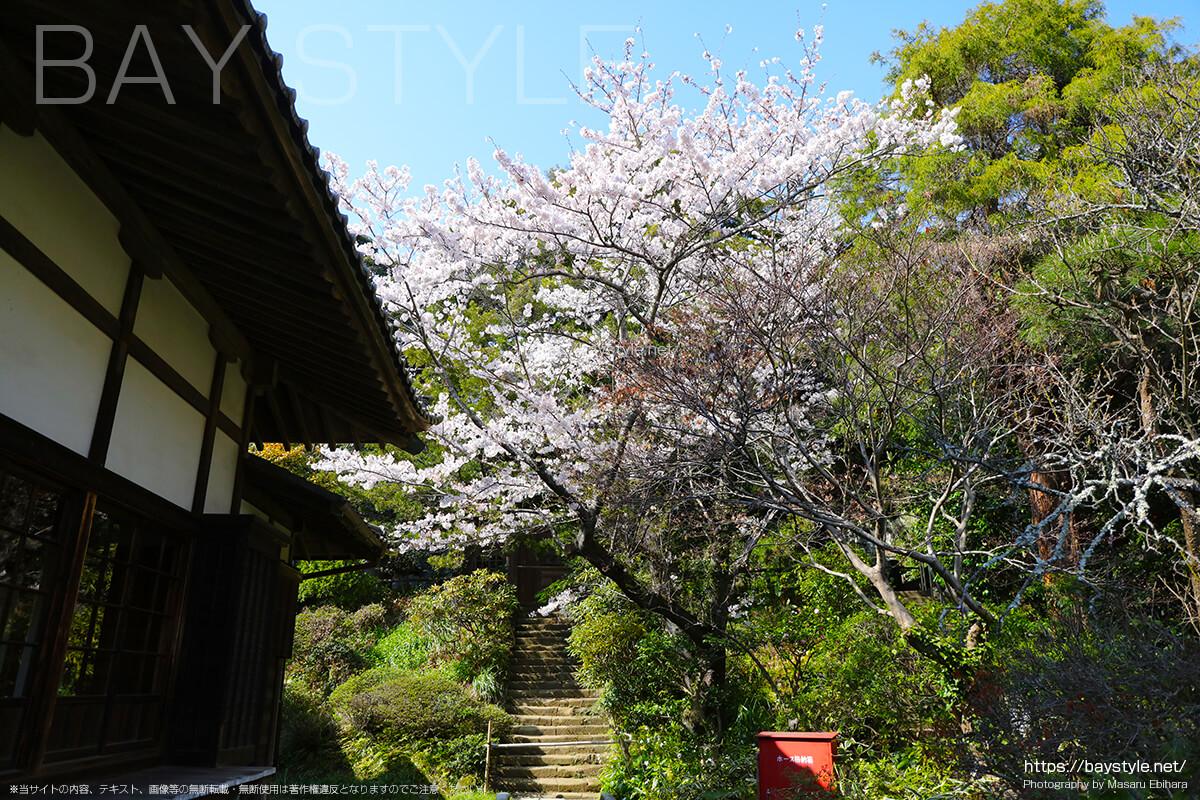 本堂へと向う階段前にある桜