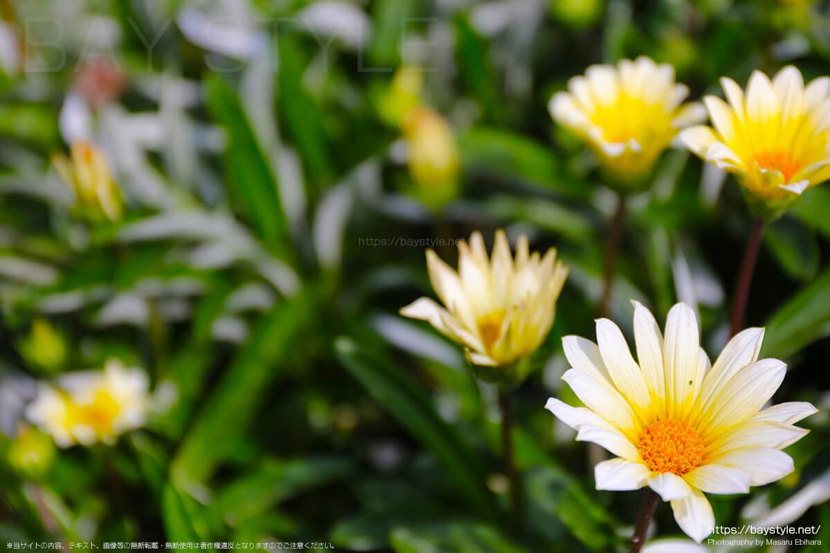 葉山港の駐車場の周辺に咲くガザリア