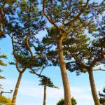 一色海岸の松の木