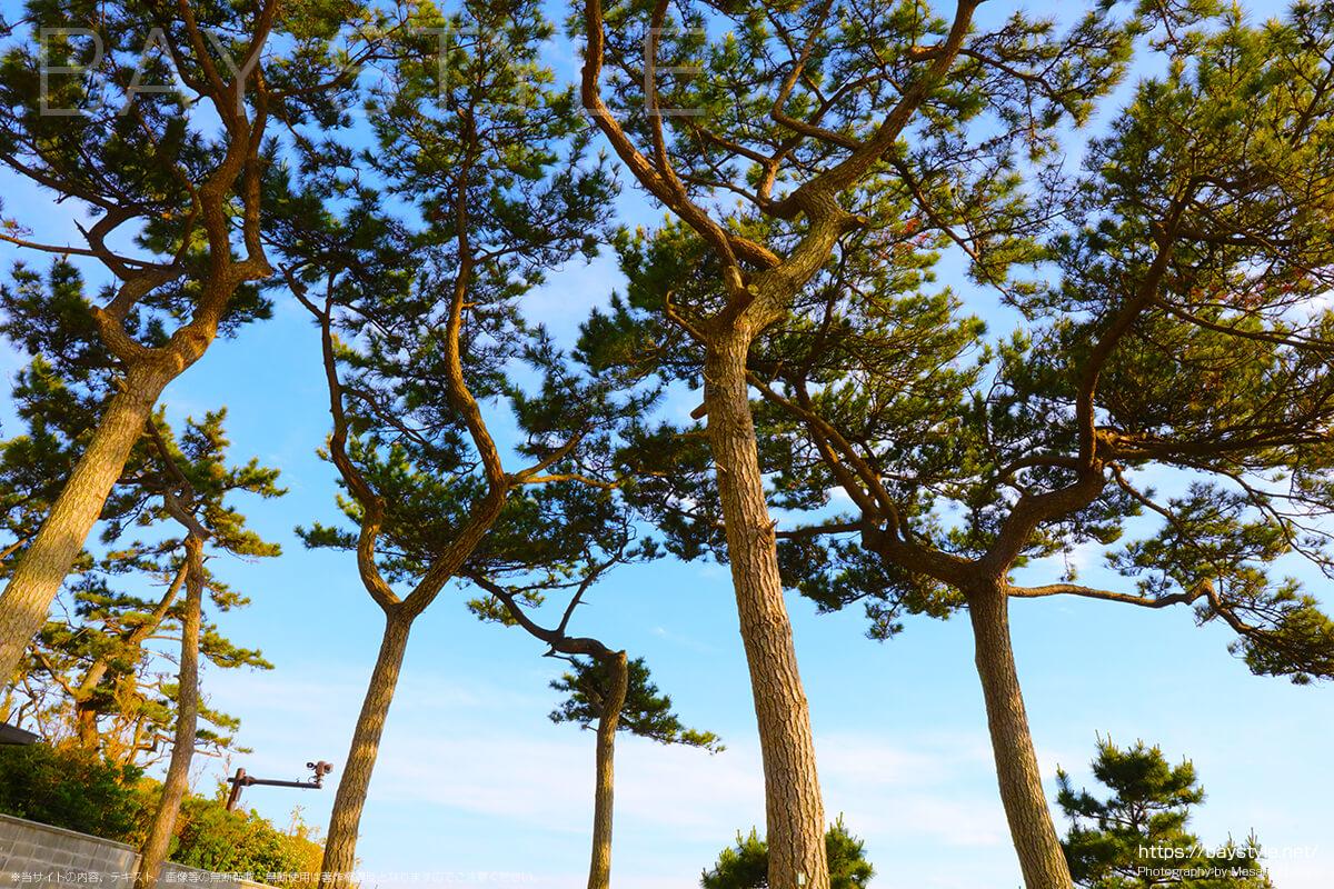 一色海水浴場の松の木
