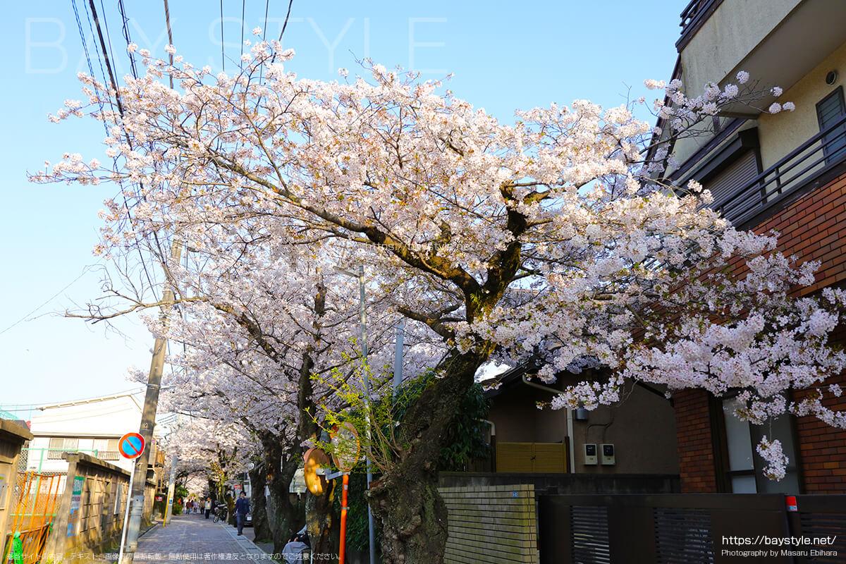 鎌倉の隠れた桜の名所、雪ノ下3丁目付近の桜並木