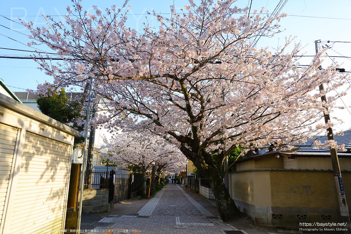 雪ノ下3丁目付近の桜並木