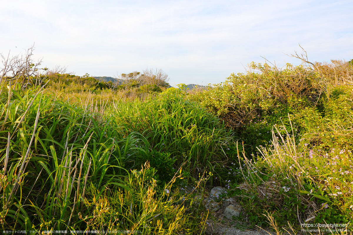 長者ヶ崎海水浴場の岬に生い茂る自然