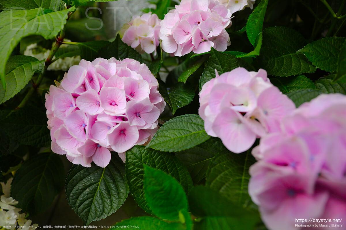薄いピンクがとても綺麗なあじさい