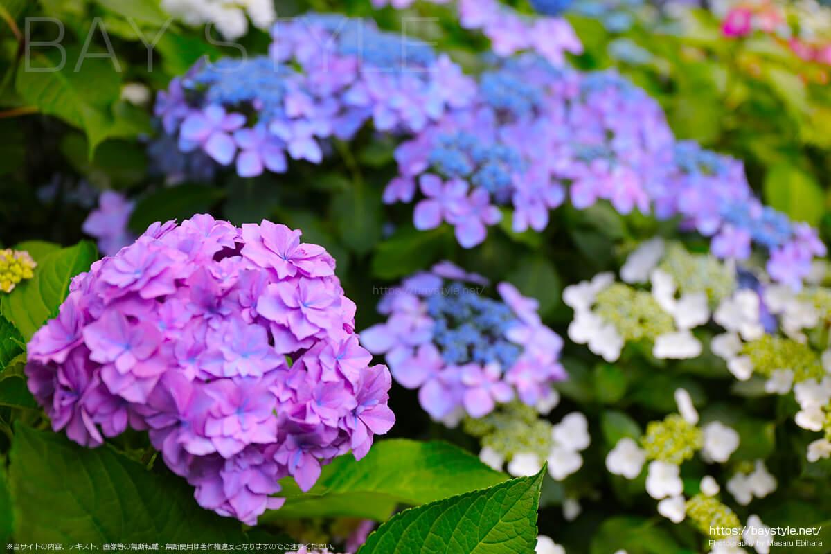 紫の花が綺麗なあじさい