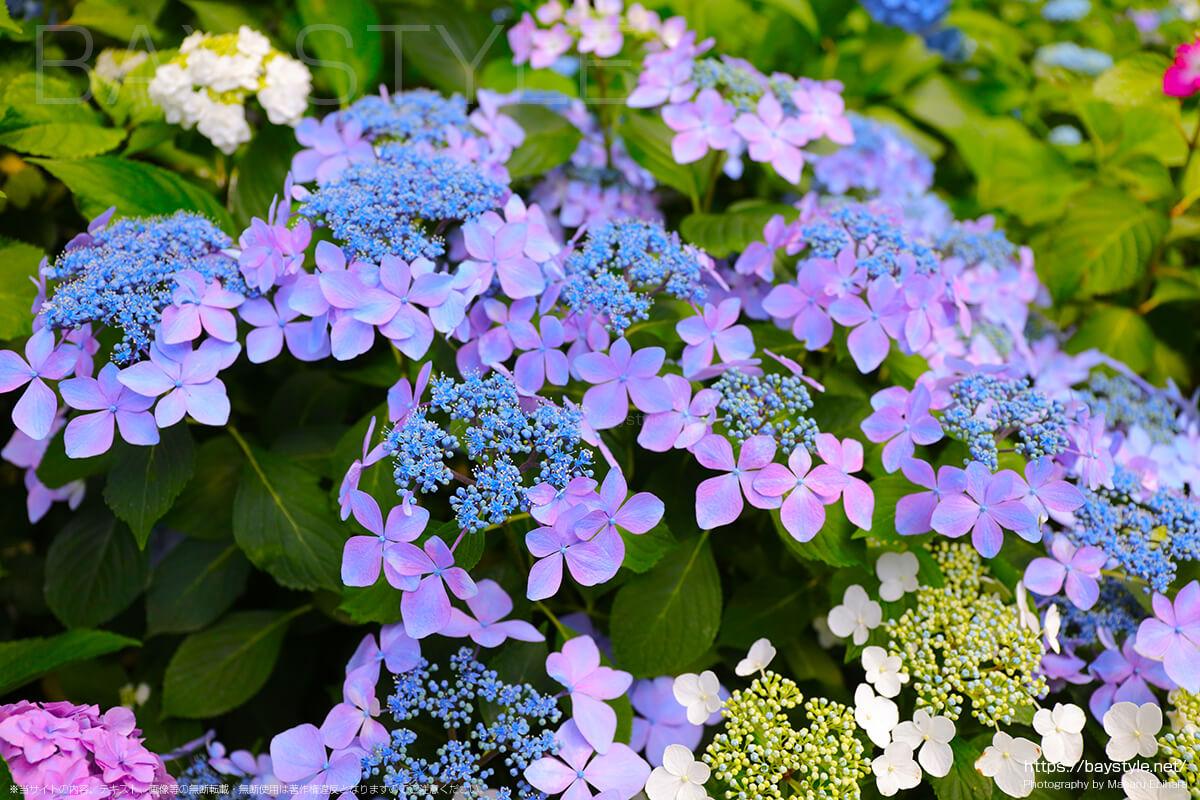 紫とブルーの色合いがとても綺麗ながくあじさい