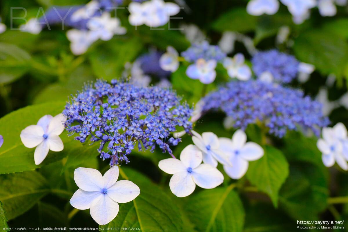 白と薄いブルーの花びらがとても可愛らしいあじさい