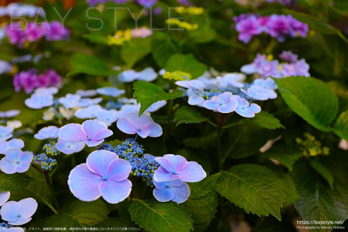 紫と水色のグラデーションが綺麗ながくあじさい
